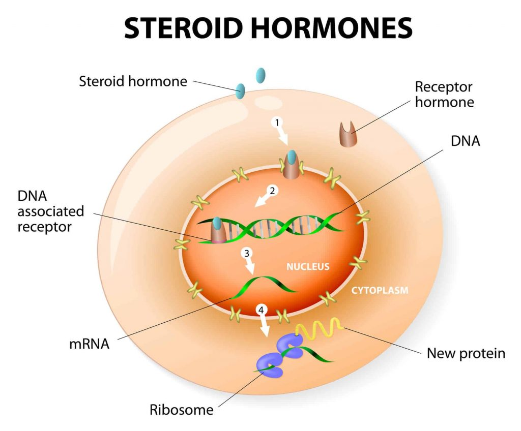 How work steroid hormones response. Steroids Bind to an intracellular receptor. this complex activates gene transcription, cause a protein to be manufactured. Vector diagram